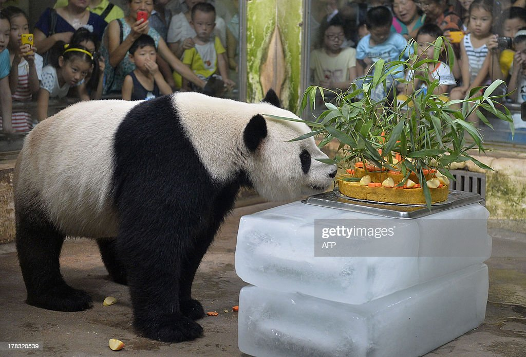 Giant panda Wei Wei smells a birthday cake made of fruits and bamboo in its enclosure in Wuhan zoo, central China's Hubei province on August 29, 2013, its 8 years old birthday. Wei Wei came to Wuhan zoo in 2008 after the Sichuan earthquake near its old home in that northwest province. CHINA