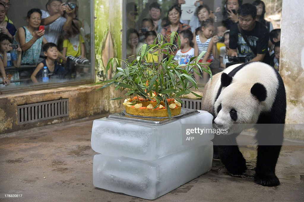 Giant panda Wei Wei walks to a birthday cake made of fruits and bamboo in its enclosure in Wuhan zoo, central China's Hubei province on August 29, 2013, its 8 years old birthday. Wei Wei came to Wuhan zoo in 2008 after the Sichuan earthquake near its old home in that northwest province. CHINA OUT AFP PHOTO