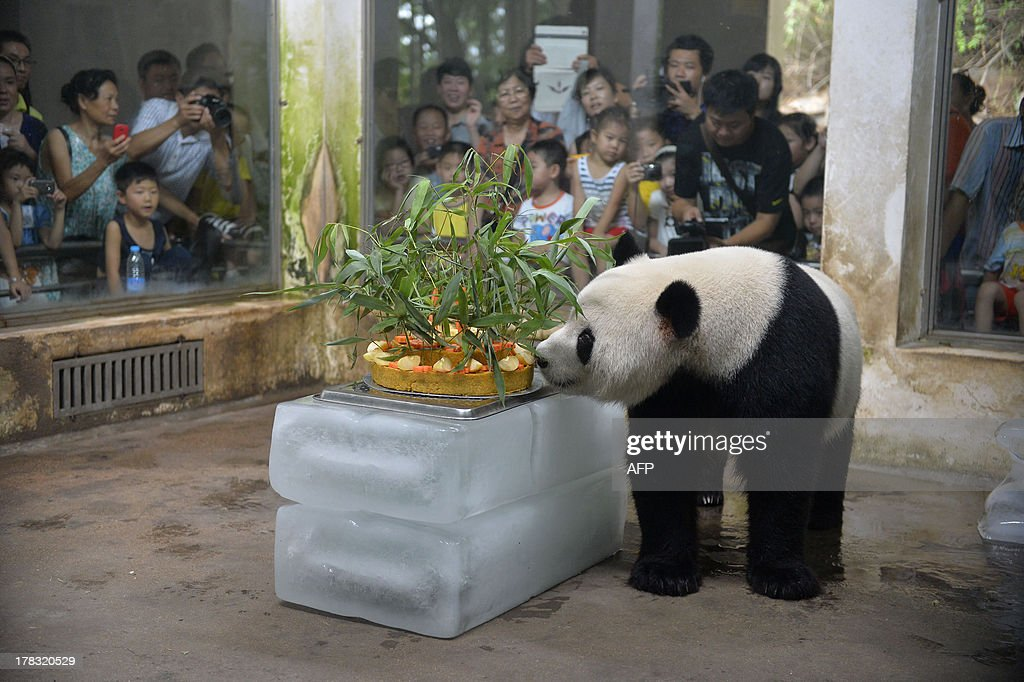 Giant panda Wei Wei walks to a birthday cake made of fruits and bamboo in its enclosure in Wuhan zoo, central China's Hubei province on August 29, 2013, its 8 years old birthday. Wei Wei came to Wuhan zoo in 2008 after the Sichuan earthquake near its old home in that northwest province. CHINA