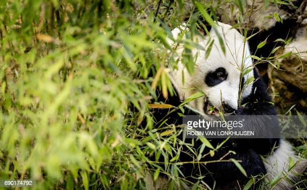 Giant panda Wu Wen eats eucalyptus during the official opening of the panda base Pandasia at the Ouwehand Zoo in Rhenen on May 30 2017 Wu Wen and...