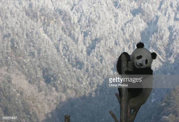 Giant panda 'Xi Xi' climbs up to a tree after snowfall at the Wolong Giant Panda Bear Research Center on January 17 2005 in Wolong of Sichuan...