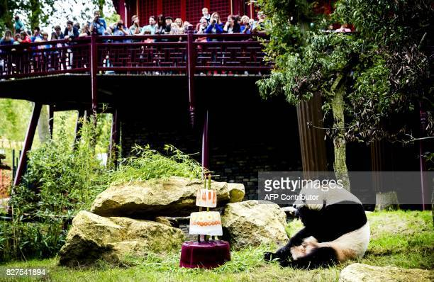 Giant panda Xing Ya celebrates his fourth birthday with an ice cake in Ouwehands Dierenpark zoo in Rhenen on August 8 2017 Two Chinese giant pandas...