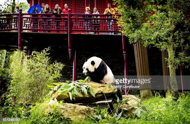 Giant Panda Xing Ya eats breakfast at his enclosure in Ouwehands Dierenpark in Rhenen on July 14 2017 Xing Ya and his female companion Wu Wen arrived...
