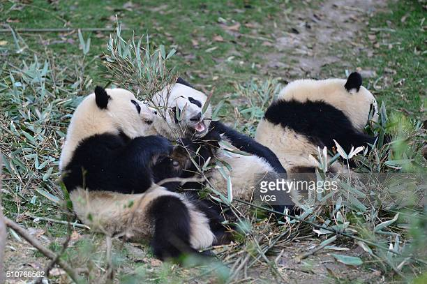 Giant pandas eat bamboo at noon in Chengdu Research Base of Giant Panda Breeding on February 16 2016 in Chengdu Sichuan Province of China