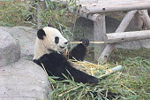 endangered giant panda eating bamboo, conservation of these animals is critical.