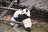 Giant pandas enjoy themselves at the Chengdu Research Base of Giant Panda Breeding on January 28 2014 in Chengdu Sichuan Province of China