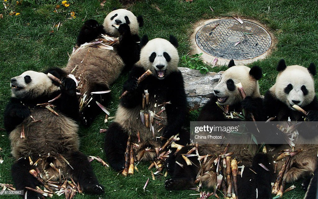 Giant pandas from the quake-hit area eat bamboo at the Beijing Zoo on June 2, 2008 in Beijing, China. The eight giant pandas from the Wolong Giant Panda Reserve, some 32km from the epicenter of the deadly earthquake in Sichuan Province, were transported to Beijing by a special plane on May 24 and will go on a public display at the zoo on June 5.