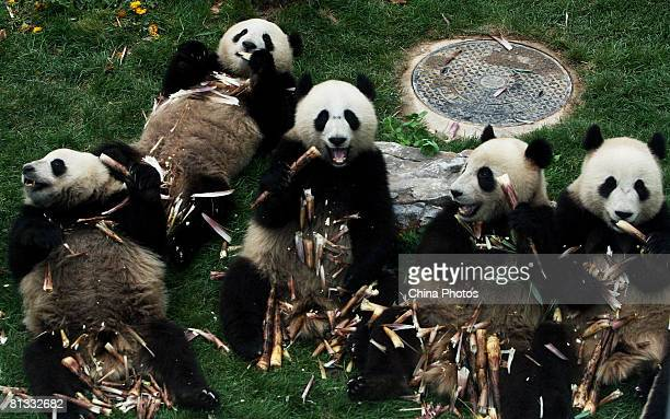 Giant pandas from the quakehit area eat bamboo at the Beijing Zoo on June 2 2008 in Beijing China The eight giant pandas from the Wolong Giant Panda...