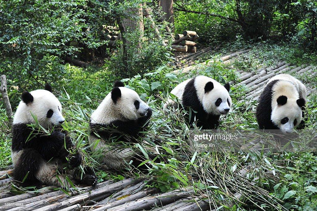 Giant Pandas in Chengdu Panda Base, Sichuan