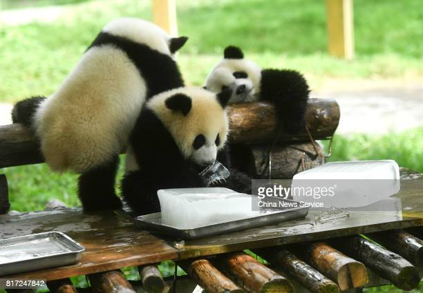 Giant pandas lie beside ice blocks at Yangjiaping Zoo on July 18 2017 in Chongqing China Yangjiaping Zoo provided huge ice blocks for giant pandas to...
