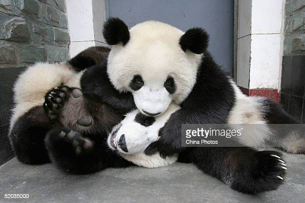 Giant pandas play at the Wolong Giant Panda Bear Research Center on October 20 2004 in Wolong China The center located high in the mountains some 130...