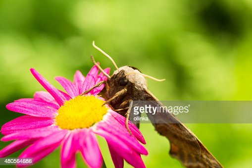 Giant Peacock Moth on a pink flower : Stock Photo