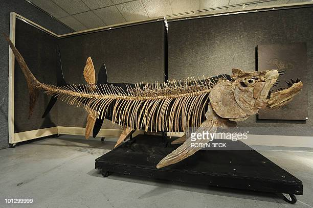 A giant predatory Cretaceous period fish discovered in Kansas is on display before sale at auction May 6 2010 in Los Angeles Bonhams Butterfields...