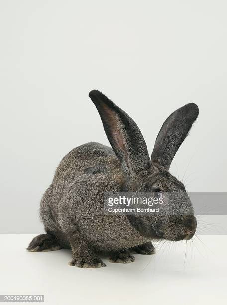 Giant rabbit on table, close-up