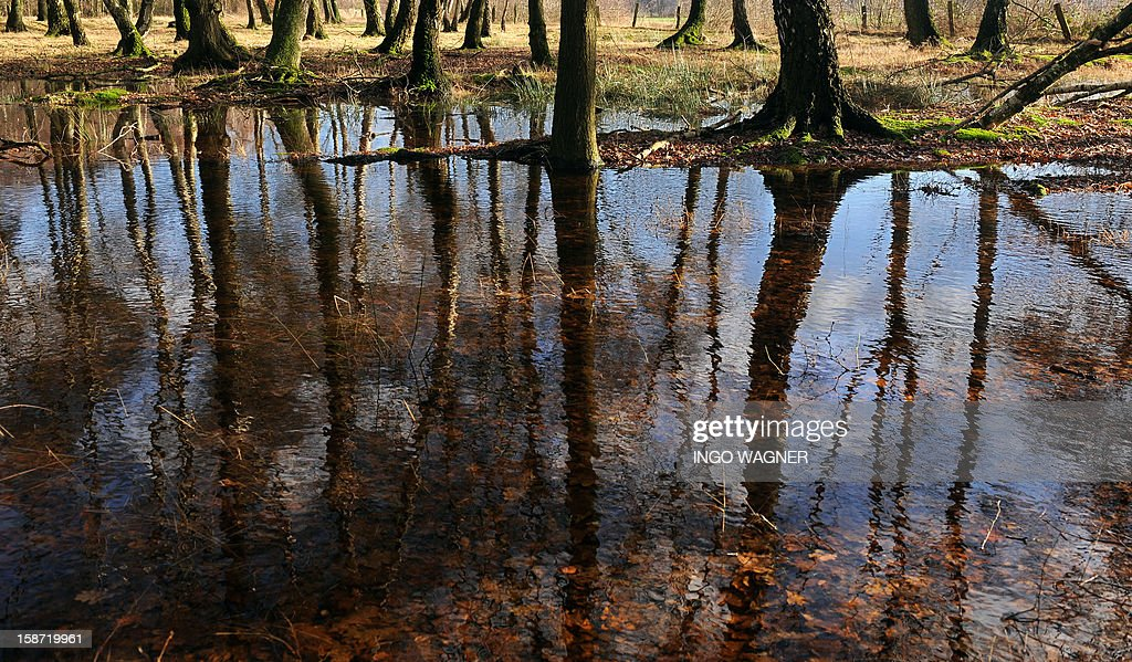 Giant rainwater pools cover the forest floor near Voelkersen, western Germany, on December 26, 2012.