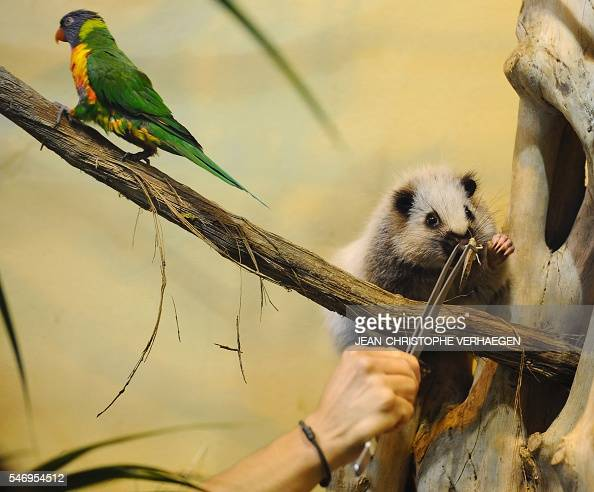 A giant rat of Indonesia receives food next to a Rainbow lorikeet at the zoological park of the eastern French city of Amneville on July 13 2016 /...