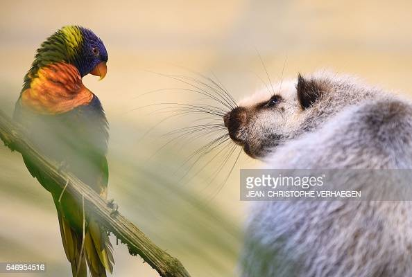 A giant rat of Indonesia stands next to a Rainbow lorikeet at the zoological park of the eastern French city of Amneville on July 13 2016 / AFP /...
