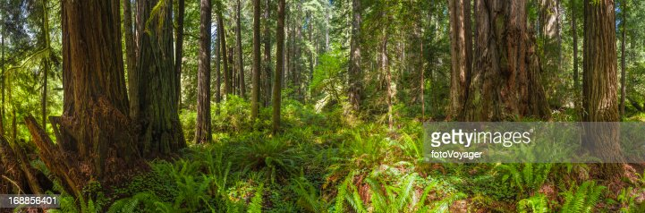 大きなレッドウッドグローヴで自然な緑の森林のパノラマに広がる眺め