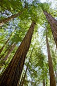Giant redwood trees, Felton, California