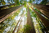 Giant Redwood trees in California, United States.