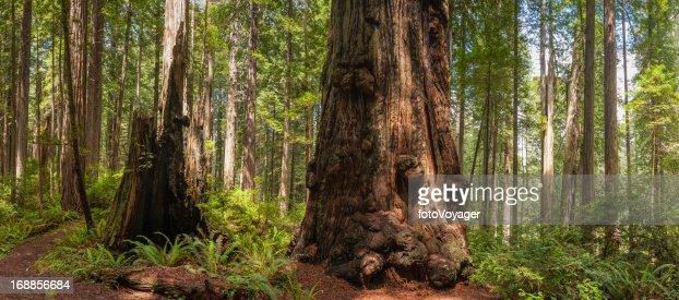 巨大なレッドウッド森林自然木のクラウドのパノラマに広がる