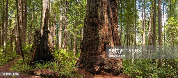 Giant Redwood trees in cloud forest wilderness panorama