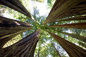 Giant redwood trees in Redwoods National Park, California
