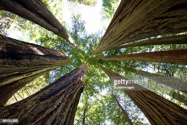 Giant redwood trees in Redwoods National Park, California
