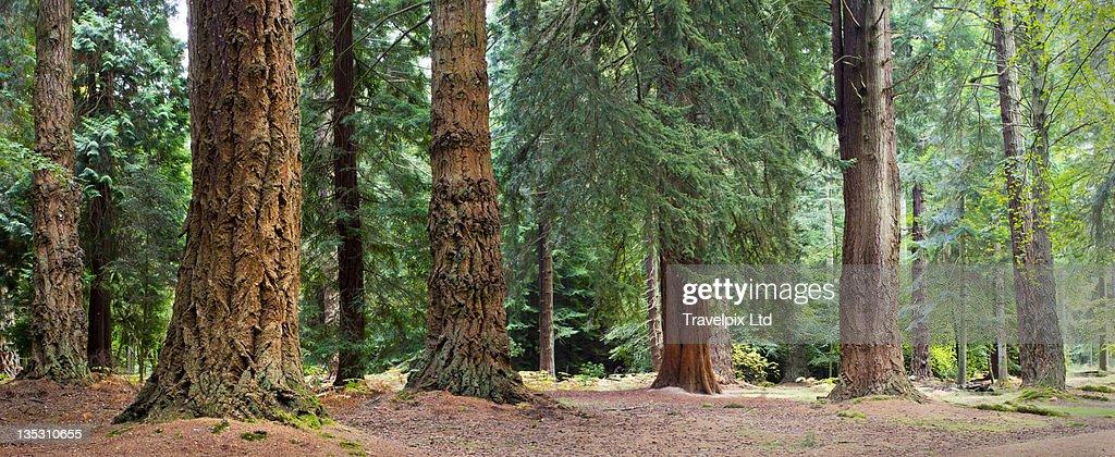 Giant Redwoods, California, USA : Stock Photo