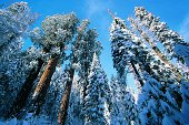 Giant Redwoods in winter, Sequoia National Park, California, USA