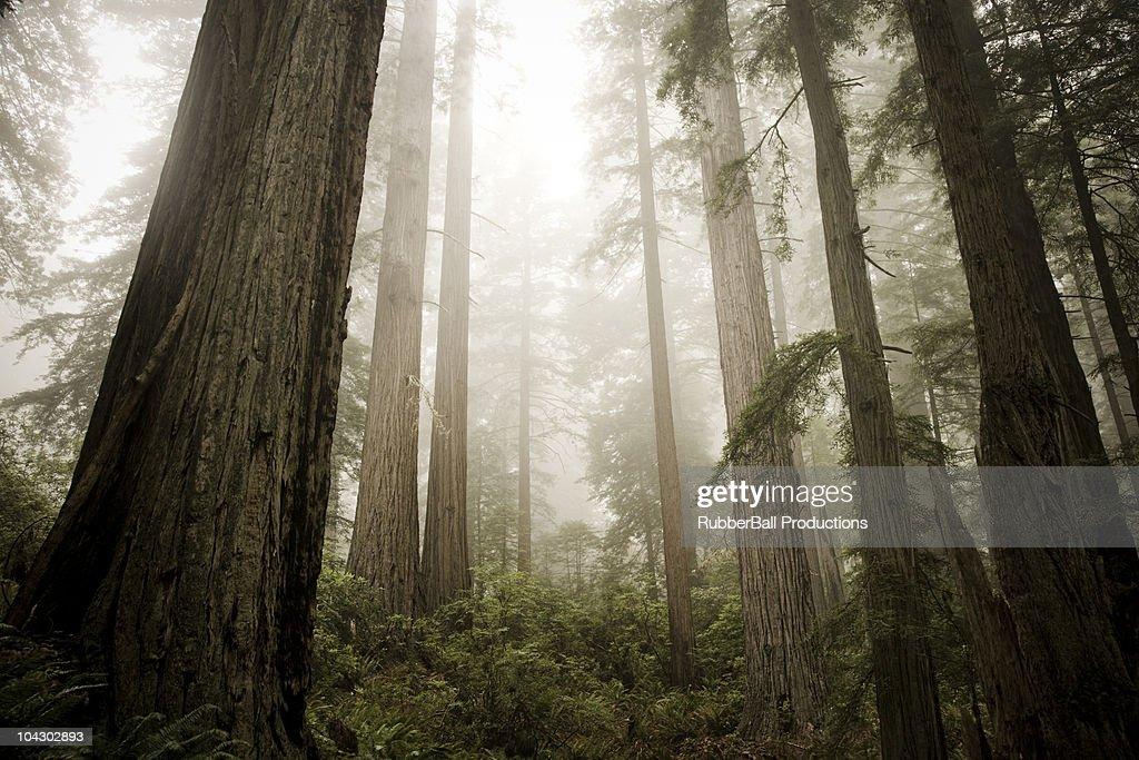 giant redwoods : Stock Photo