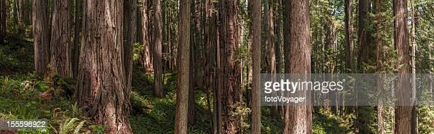 大きなレッドウッズセコイア sempervirens 雲の森林のパノラマに広がる
