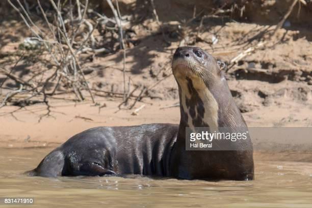 Giant River Otte resting on shore