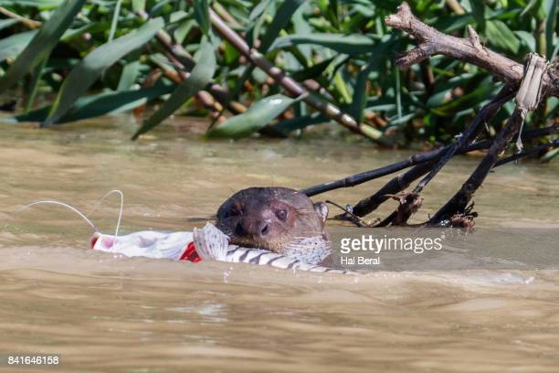 Giant River Otter catching a fish