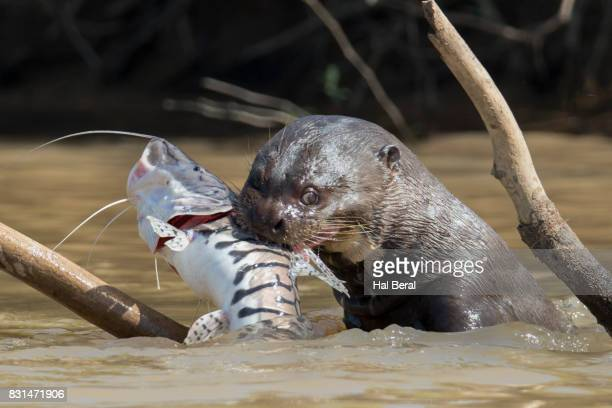 Giant River Otter catching a large fish