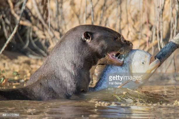 Giant River Otter catching a pirinha