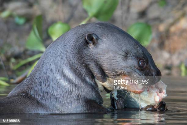 Giant River Otter eating a fish close-up
