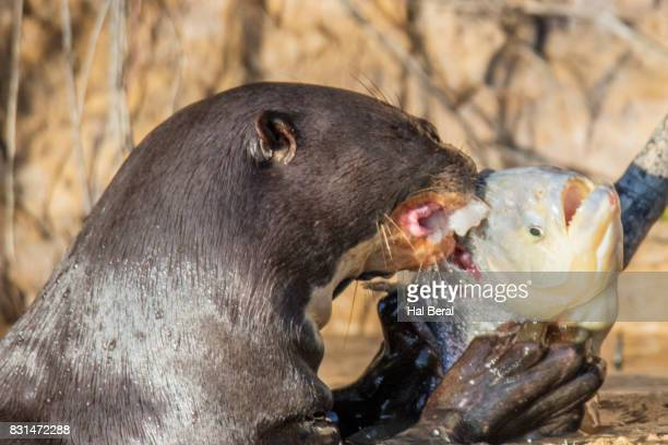 Giant River Otter eating a Piranha close-up