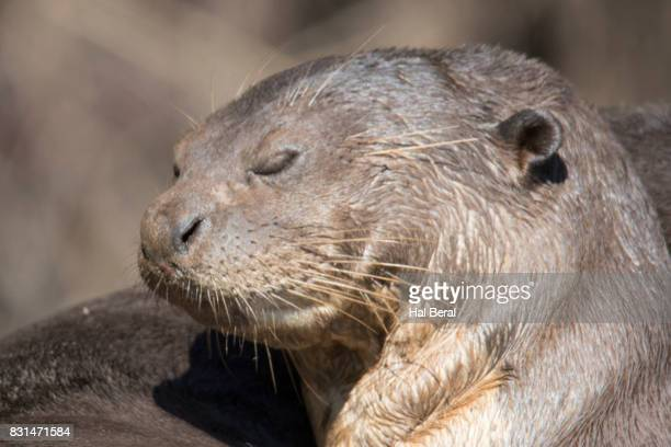 Giant river Otter sleeping close-up