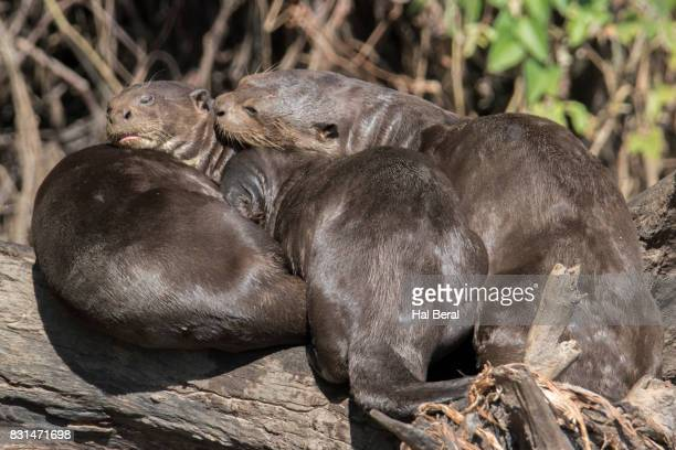 Giant River Otters resting on shore