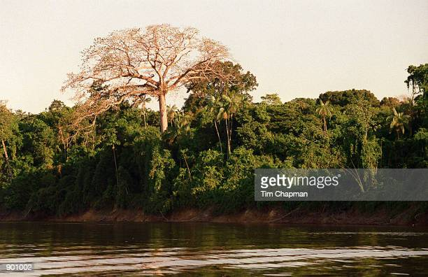 A giant Seba tree towers more than 100 feet above the rest of the jungle along the remote banks of the Orinoco River in the Amazon region of...