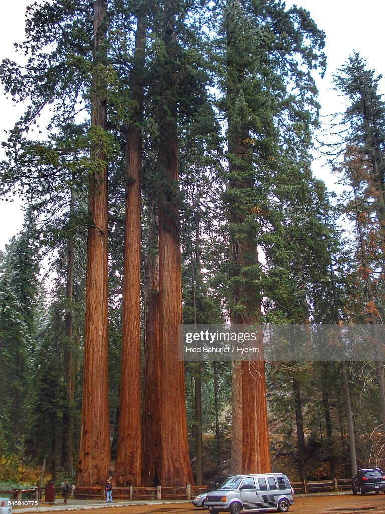 Giant Sequoia Growing At Sequoia National Park