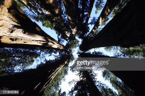 giant sequoia : Foto de stock