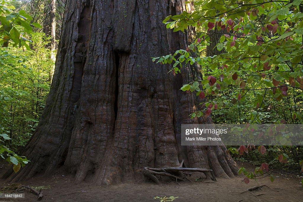 Giant Sequoia Redwood Tree : Stock Photo