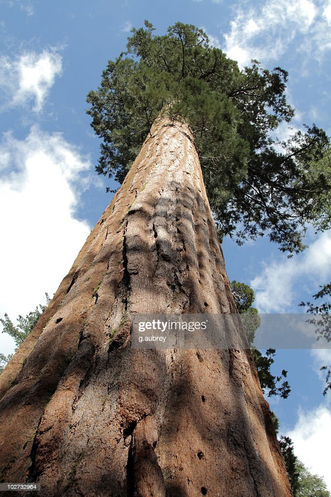 Giant Sequoia Tree low angle view