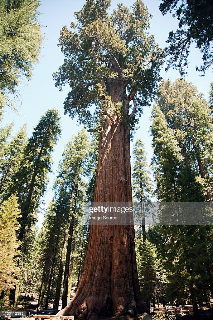 Giant sequoia trees, Sequoia National Park, California, USA : Stock Photo