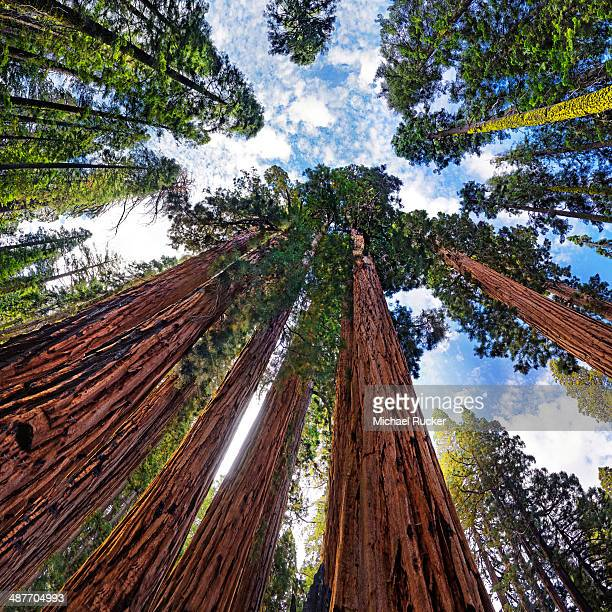 Giant sequoia trees -Sequoiadendron giganteum-, frog perspective, the Giant Forest, Sequoia National Park, California, United States