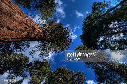 Giant Sequoias - 2