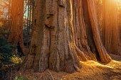 Ancient Giant Sequoias Grove . Sierra Nevada Mountains, California, USA.