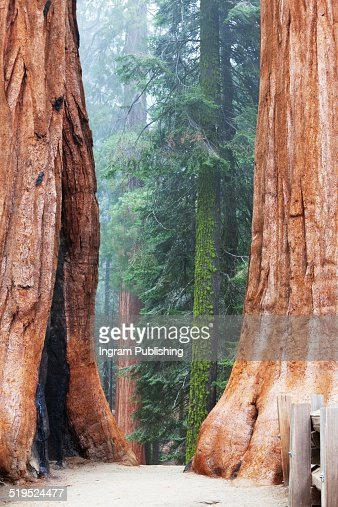 Giant sequoias in foggy weather